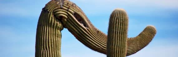 bendy saugaro cactus