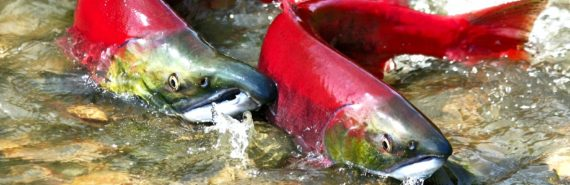 two salmon spawning in river