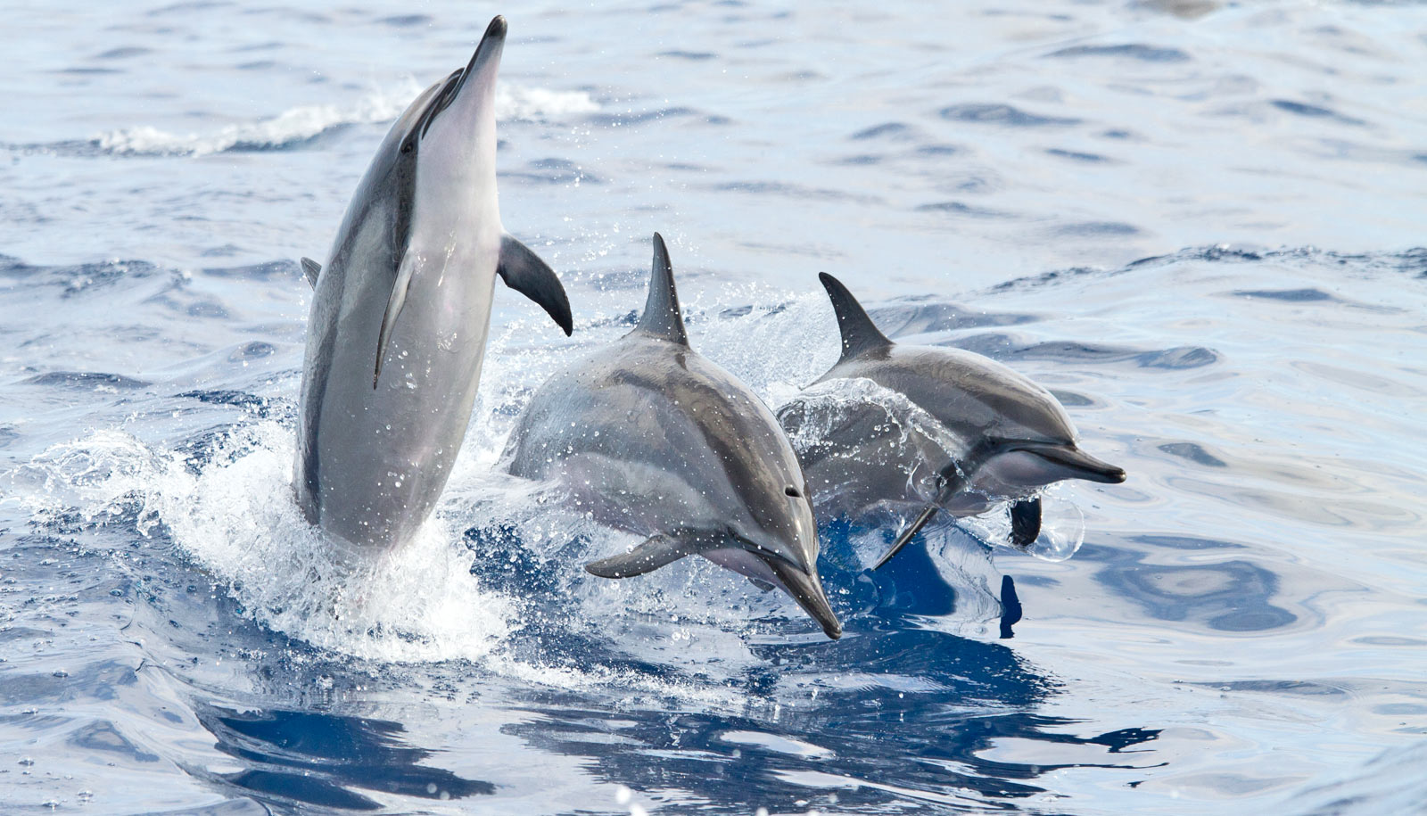 Noisy humans rob spinner dolphins of their rest - Futurity