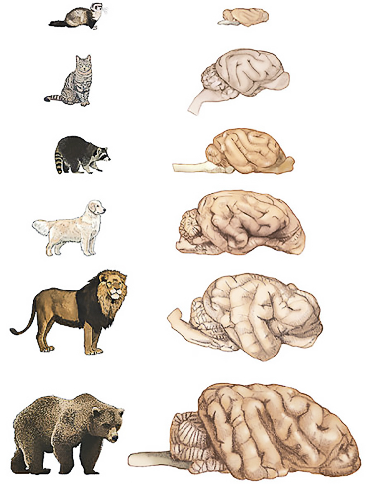 Carnivore brain comparison (dogs vs. cats)