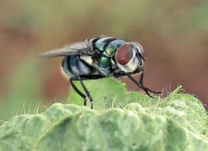 blowfly on a leaf