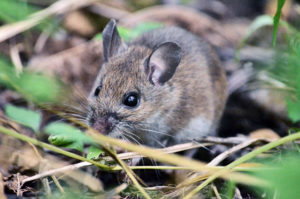mice and climate change