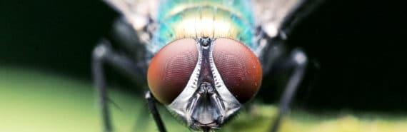 housefly looking at camera