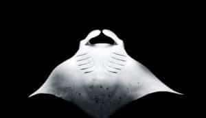 manta-ray-inspired robot