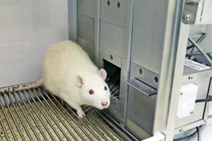 rat in addiction and motivation experiment