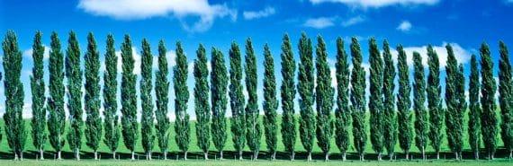 poplar trees in a row
