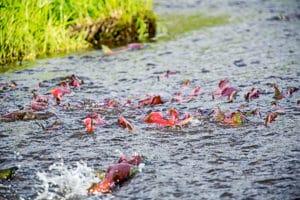 salmon swimming, fish