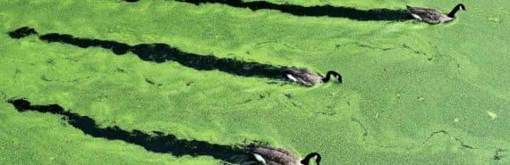 water covered in algae
