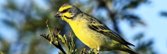 yellow-fronted canary (wild bird)