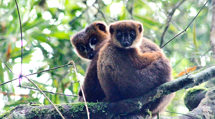 lemur male with infant