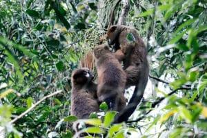 Lemurs feeding