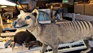 Tasmanian tiger (thylacine specimen)