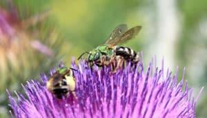 green Agapostemon virescens bees on purple flower