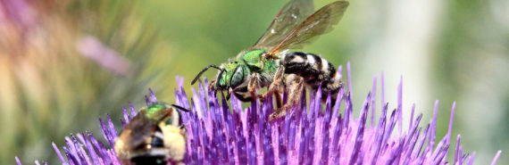green Agapostemon virescens bees on purple flower