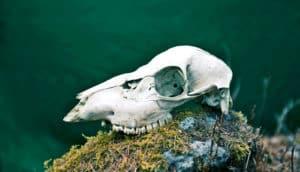 deer skull on mossy rock