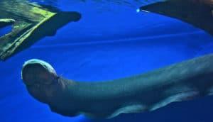 electric eel in blue water