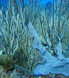 damaged gorgonian coral