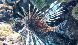 lionfish swimming