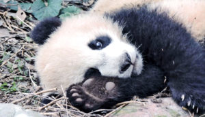 panda on its side (panda footprints)