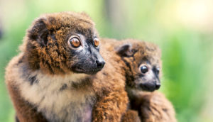 red-bellied lemurs