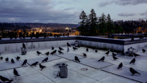 crows on rooftop
