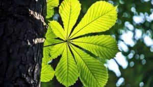 sun-like leaf (photosynthesis concept)