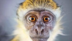 baby vervet monkey face