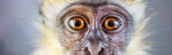 baby vervet monkey face