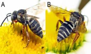 new bee species, Triepeolus eliseae