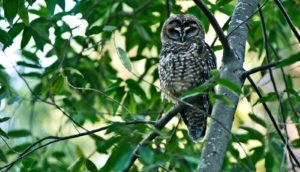 adult northern spotted owl