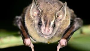 bat face close up (bats and diet)