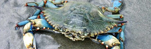 blue crab on sand (crabs concept)