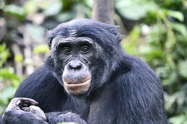bonobo ape smiling (bonobos)