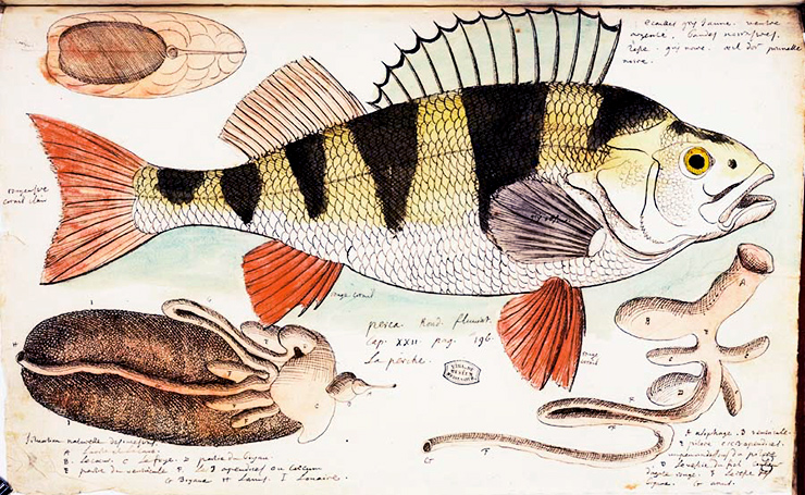 Charles Plumier illustration