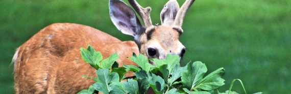 deer peeking from behind shrub