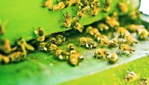 honeybees enter green box