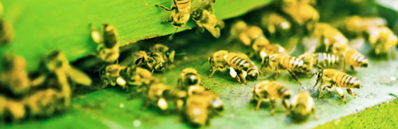 honeybees enter green box