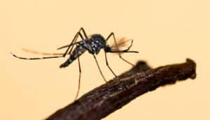 mosquito against orange (mosquitoes)