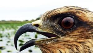 snail kite face in profile