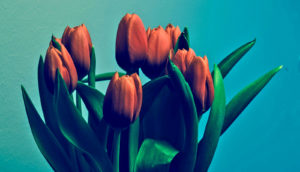 red tulips on teal background