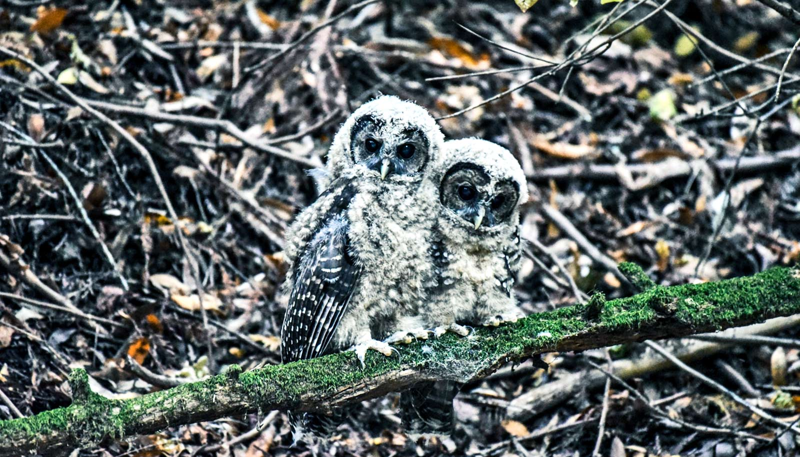 two juvenile spotted owls