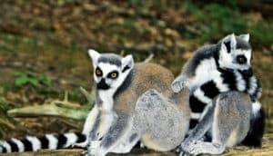 two lemurs sitting