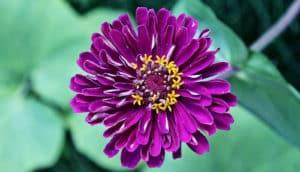 zinnia flower (vascular plants database concept)