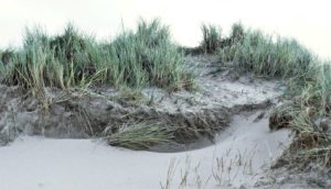 invasive beachgrass