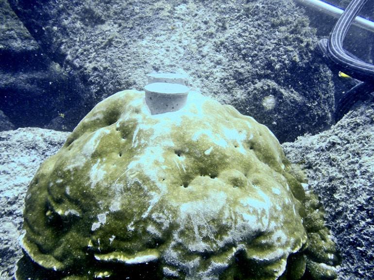 coral plug