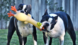 dogs with rubber chicken