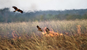 firehawks in Borroloola, northern territory, australia