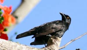 micronesian starling bird