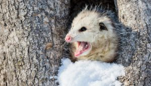 virginia opossum in snowy tree