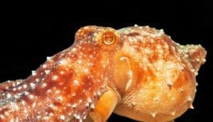 orange octopus with papillae raised